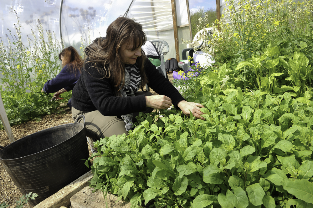 A lady is outdoors picking lettuce from a vegetable patch
